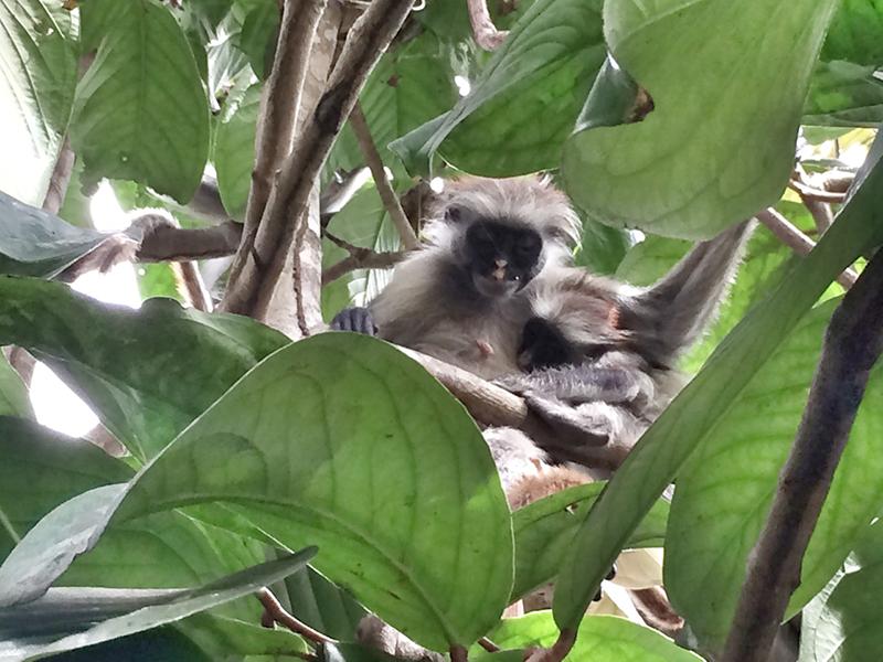 Upoznavanje sa majmunima u Jozani šumi, Zanzibar